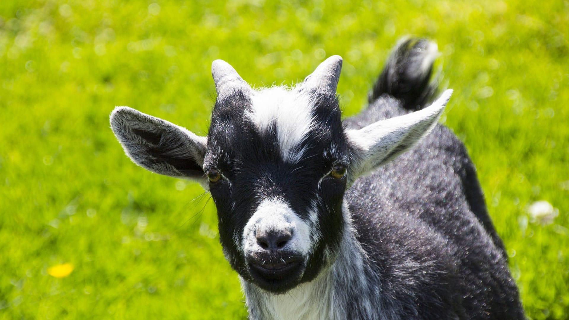 Le fromage de chèvre permet même aux intolérants au lactose de se régaler